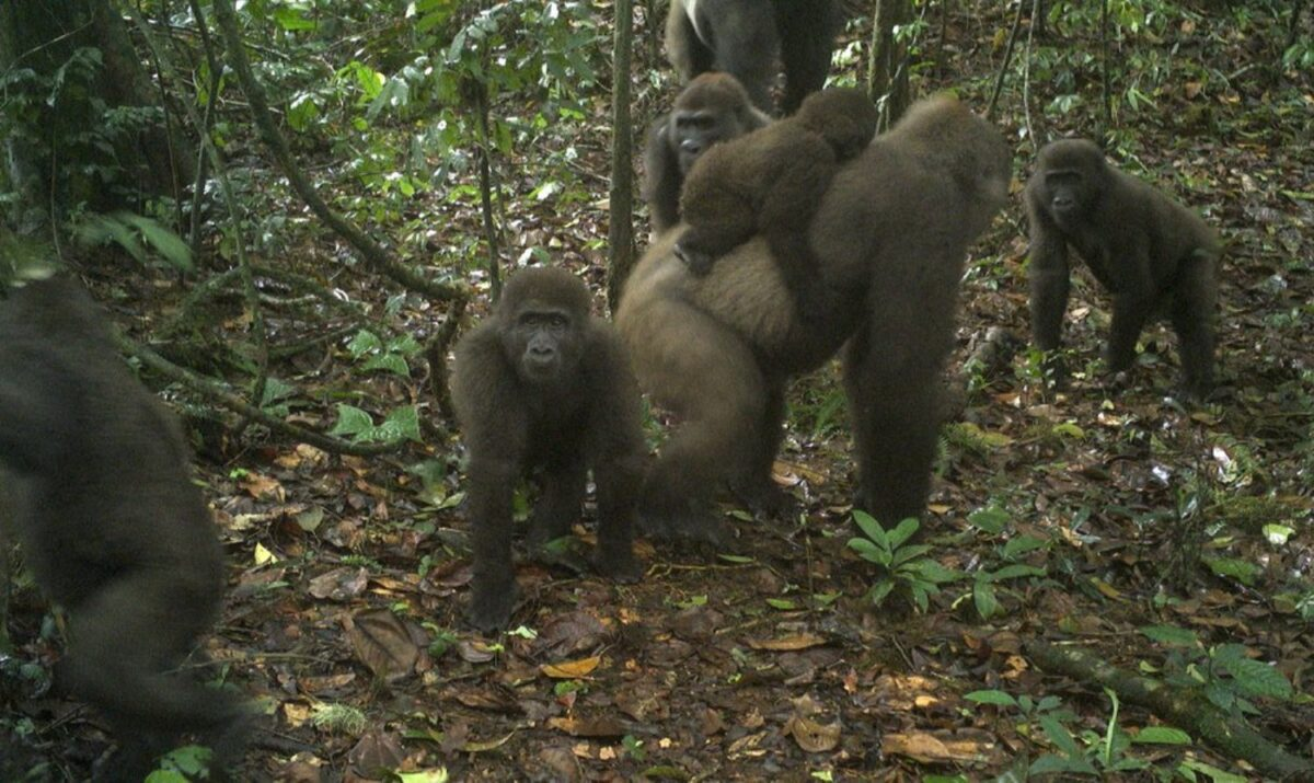 Rare Cross River gorillas captured on camera with babies