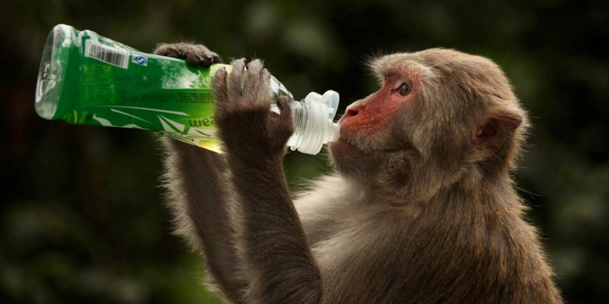 Monkeys Infected With COVID-19 Developed Short-Term Immunity ― Study