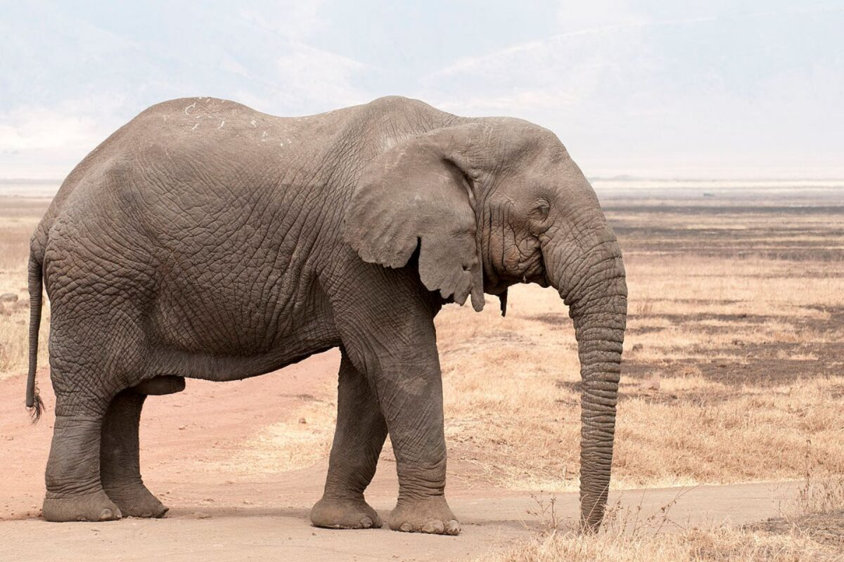 Lesser than 500 elephants remain in Nigeria ― Conservationist Laments