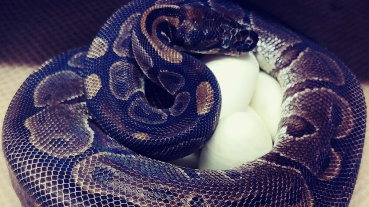 Zoo Experts Bewildered as 62-year-old Python Lays 7 eggs Without Male Help